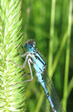 Photo: Common blue damselfly 20 July 2015 © Keith Gittens 2015