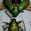 jewel scarab beetle