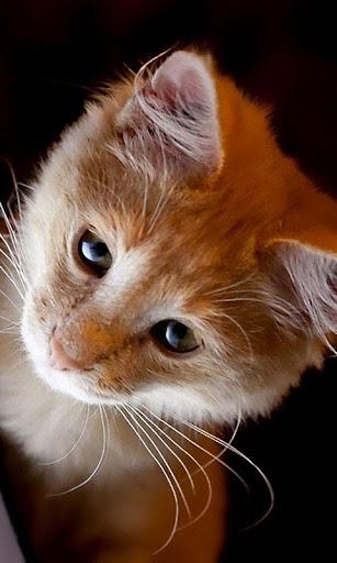Cute Cat Live Wallpaper: fondos de pantalla hd capturas de pantalla 3