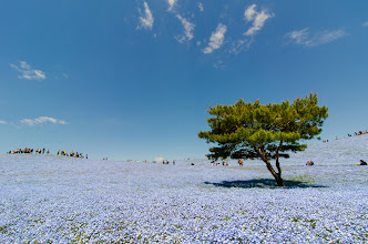 Photo: A tree planted in the midst of thousands of blue nemophilia