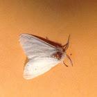 White Moth ( Injured )