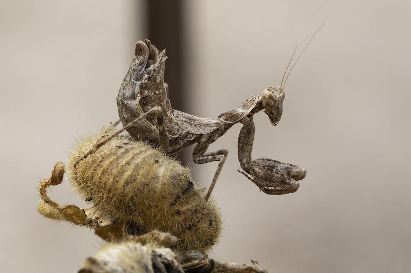 Ameles Spallanzania Entomofobia !! di Bitop62
