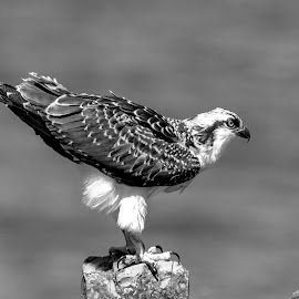 Osprey on the Rocks by Debbie Quick - Black & White Animals ( lake champlain, raptor, debbie quick, crown point, nature, adirondacks, osprey, debs creative images, new york, water, outdoors, bird, birds of pray, black and white, wild, wildlife )