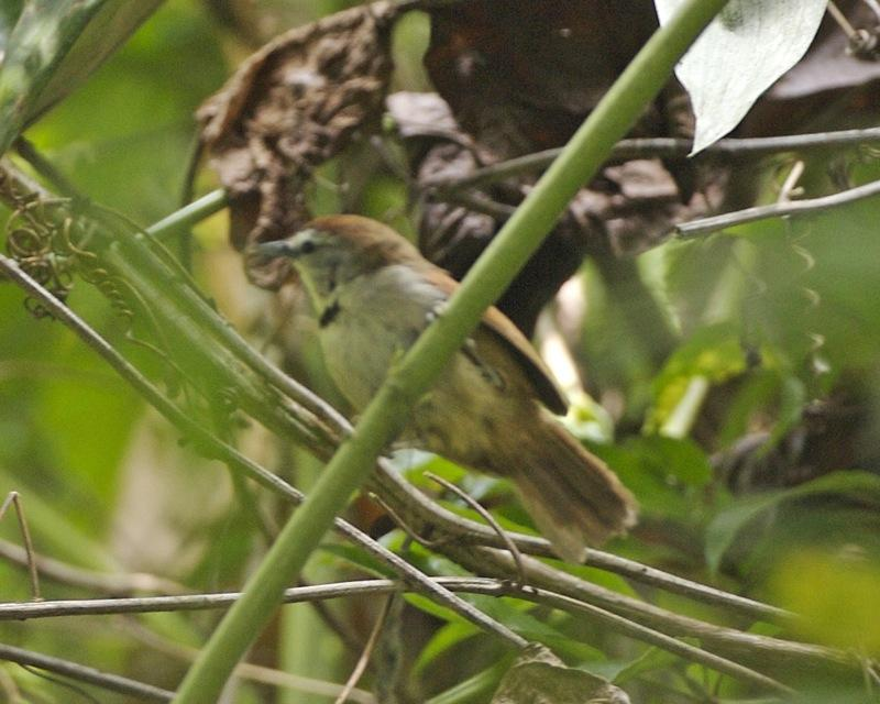 https://upload.wikimedia.org/wikipedia/commons/2/23/Crescent-chested_Babbler_%28Stachyris_melanothorax%29.jpg