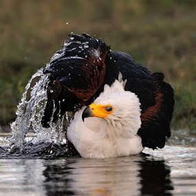 Fisheagle  by Jan Jacobs - Animals Birds