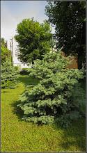 Photo: Molid (Picea abies) - dinTurda,  scuarul de pe Str. Rapsodiei intersectie cu Str. Baladei si Calea Victoriei - 2019.05.26