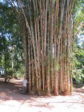 Photo: Giant bamboo at Aguila de Osa.