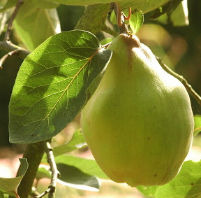 Kweepeer, quince, Cydonia oblonga - Foto: AnneTanne. Creative Commons License