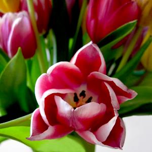 Bi-Color Tulip - IMG_0507.jpg