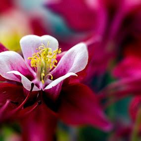 Columbine II by Glen Sande - Flowers Single Flower ( flower garden, columbine, nature up close, close up, flower,  )