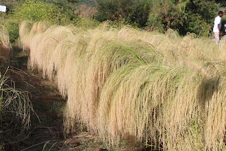 Photo: Teff grown with the System of Teff Intensification (STI). Field Day in Tigray, Ethiopia. 2012. [Photo from Tareke Behre]