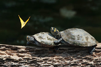 Photo: Turtles vs Butterfly