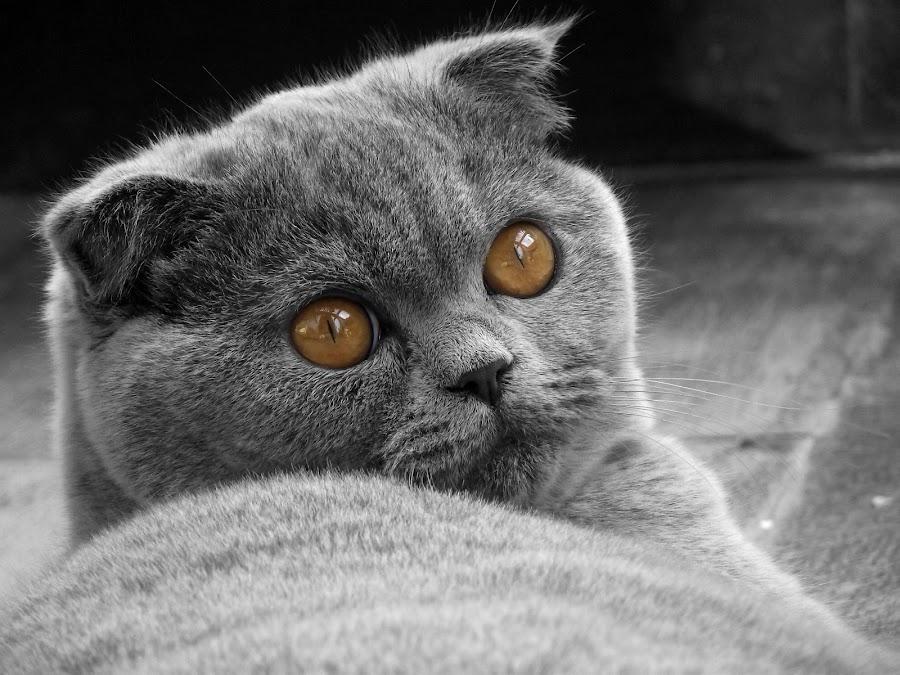 Frida - the perfect scottish fold cat by Stefano Rho - Animals - Cats Portraits ( cats, blackandwhite, kitten, cat, b&w, black and white, pet, pets, scottishfold, cute, portrait )