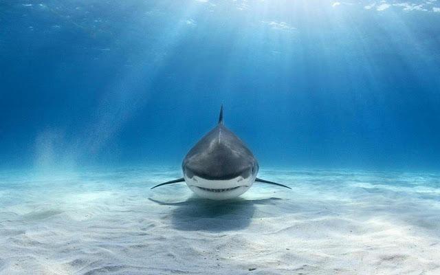 Sharks Tab
