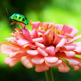 Zinnia with Green Jewel Bug by Souvik Nandi - Nature Up Close Flowers - 2011-2013