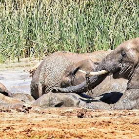 Mud Bath by Anne-Marie  Fuller  - Animals Other Mammals ( nature, nature up close, elephants, nature photography, wildlife,  )