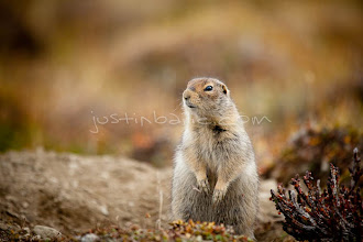 """Photo: Arctic Ground Squirrel near the Tashenshini River. The """"Tat"""" flows out of Yukon, CA, through British Columbia and empties into Glacier Bay National Park in Alaska, US."""