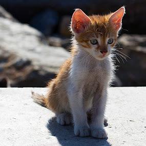 YELLOW CANDY  by Nihan Bayındır - Animals - Cats Kittens ( love, kitten, cat, passion, photography, animal,  )