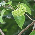 Green Milkweed Climber