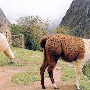 Cute Llamas Wallpaper Images