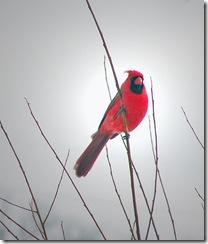 Cardinal-In-Winter-III