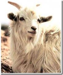 cashmere-goat