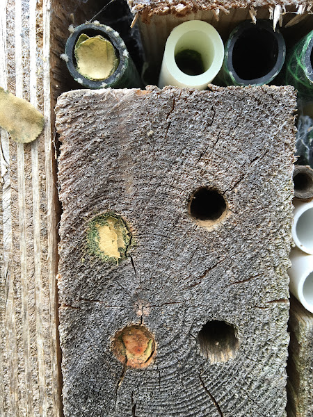 """Photo: 2/2 © Owain Jones 2016. Owain says """"Two pics showing that leaf cutter bees have taken up residence in my home made box for that purpose"""""""