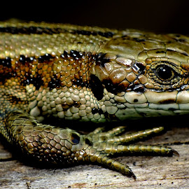 Common Lizard by Pat Somers - Animals Reptiles (  )