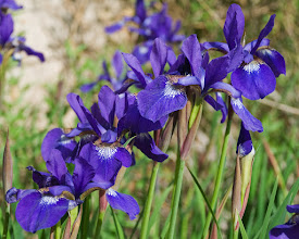 Photo: Dutch iris 05/08