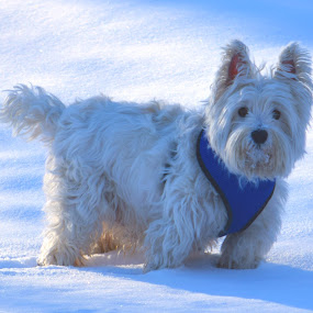 Ready to Romp by Rob Bradshaw - Animals - Dogs Playing ( ready to romp, long hair, white, snow, dogs, winter, playing, animals, long fur, west highland terrier )