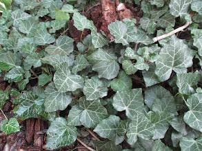 Photo: Hedera helix Araliaceae