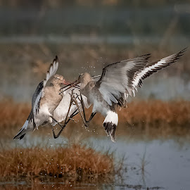 Godwits in Territorial Fight by Jeet Aman - Animals Birds ( #wildlife #nikon500 #godwit #magicofmangalajodi #teamhbp )