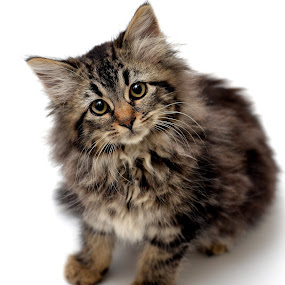 Mr. Puffer by Josh Norem - Animals - Cats Kittens ( cats, kitten, cat, animals, pets, long-hair, tabby )