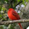 Tángara roja migratoria - Summer tanager