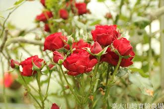 Photo: 拍攝地點: 梅峰-溫帶花卉區 拍攝植物: 玫瑰 拍攝日期: 2015_07_29_FY