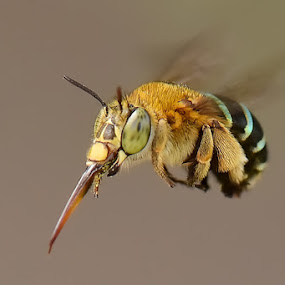 fly by Balox Berhati Nyaman - Animals Insects & Spiders ( macro, bee, fly, insect, close up )