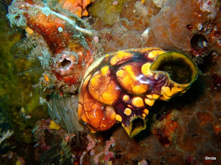 Pserudobiceros gloriosus (flatworm) on Polycarpa aurata (Seasquirt)