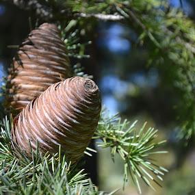 Pine by Japie Scholtz - Nature Up Close Trees & Bushes ( tree, needle, bush, branch, cone )