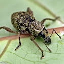 Broadnosed Weevil