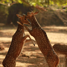 Spotted a Fight! by Balaji Mohanam - Animals Other Mammals ( action, spotted deer, deer )