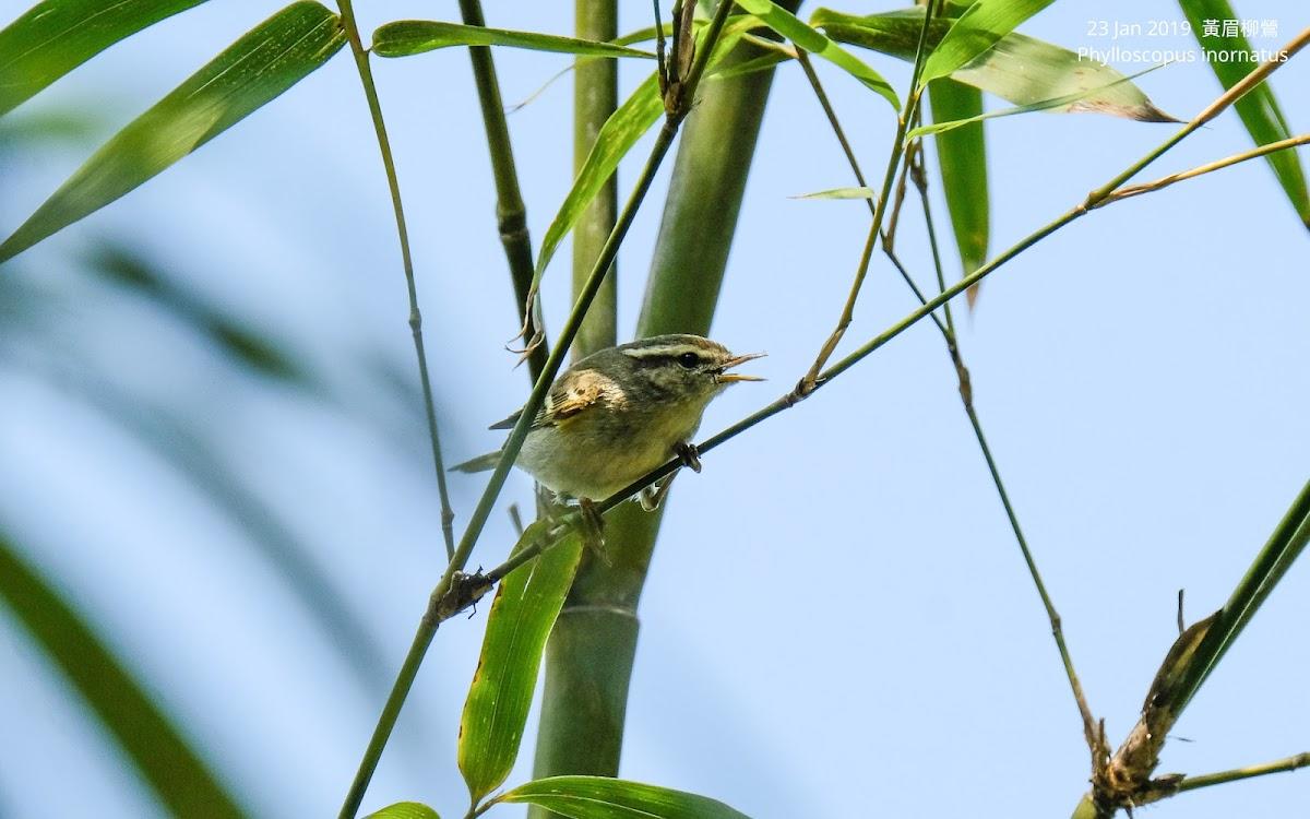 Phylloscopus inornatus 黃眉柳鶯