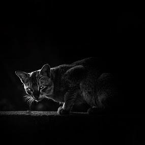 Cat in the dark by Pritam Sharma - Animals Other Mammals ( kitten, shadow, cat, black, bnw, black and white,  )