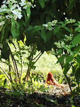 Photo: Cardinal sunning under the flowers at Cox Arboretum in Dayton, Ohio.