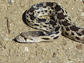 Photo: Gopher Snake - M. WHite