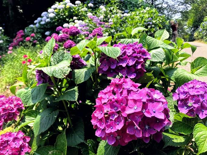 紫陽花 が 文献 に 登場 する 最も 古い 時代 は