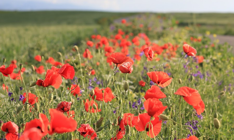 wild poppies by Cosmin Popa-Gorjanu - Nature Up Close Gardens & Produce ( red, wild poppies, green, summer, poppies, flowers )