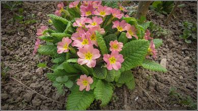 Photo: Primula (Primula: veris, vulgaris) - din Turda, Calea Victoriei, Nr. 15, spatiu verde - 2019.04.09