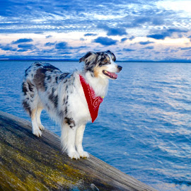 Vibe in Vancouver, BC, Canada... at the beach. by Aaron Bushkowsky - Animals - Dogs Portraits ( aussie shepherd )