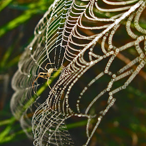 Spider in Web by JoAnn Palmer - Nature Up Close Webs ( nature, dew, web, spider, spider web, droplets )
