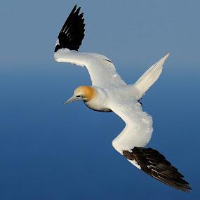 Northern gannet by Bostjan Pulko - Animals Birds